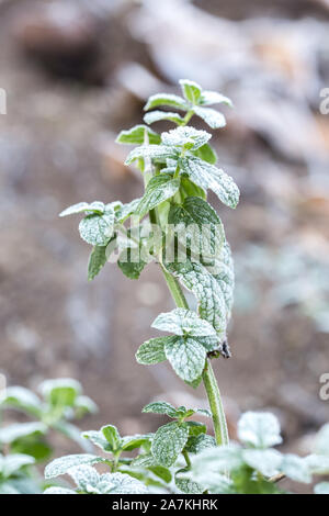 Hoarfrost-covered leaves of mint. The first frosts, crystals of shallow ice on green leaves. Loam Background. - Stock Photo