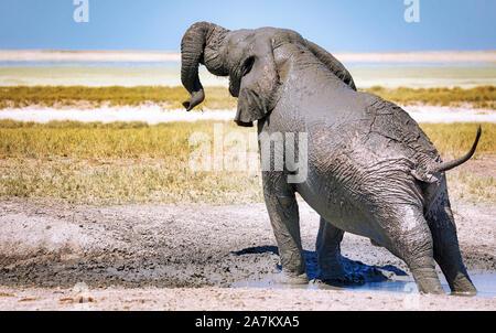 elephant in the mud, Etosha National Park, Namibia, (Loxodonta africana) - Stock Photo