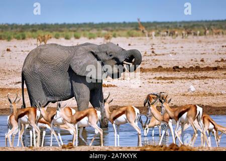 elephant at the waterhole, Etosha National Park, Namibia, (Loxodonta afric - Stock Photo