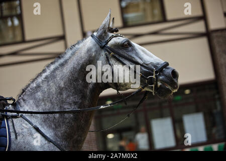Pure Spanish Horse or PRE,dapple gray mare portrait against  stable  background - Stock Photo