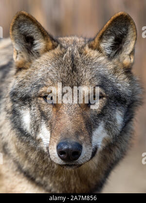 Close up beautiful portrait of a grey wolf (Canis Lupus) - Stock Photo