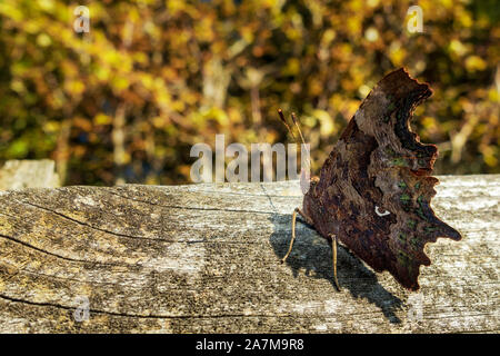 Comma butterfly (Polygonia c-album) showing the beautiful pattern and comma on its underwing with autumn leaves in the background, UK - Stock Photo