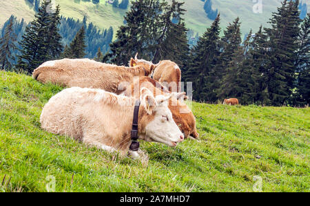 Cows in the mountains in the Swiss Alps on a cloudy day - Stock Photo