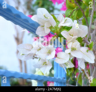 Beautiful white bougainvillea flowers in the garden - Stock Photo