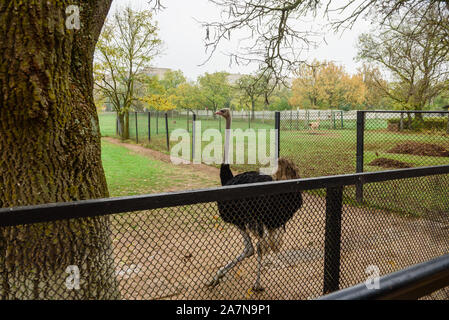 Adult African ostrich at zoo on warm autumn morning - Stock Photo