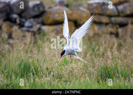 Arctic tern, (Sterna paradisaea), are mainly grey and white plumaged, with a red/orangish beak and feet, white forehead, a black nape and crown. - Stock Photo