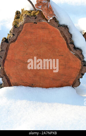 Oak tree trunk  slices covered with snow in park. - Stock Photo