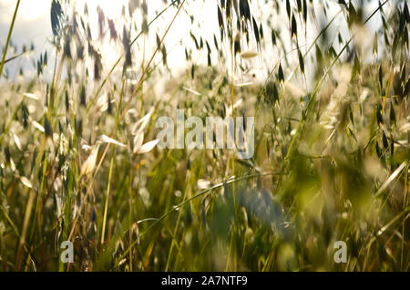 Low angle  view of defocused spring wild oat  field  over bright sky  during  summer  . - Stock Photo