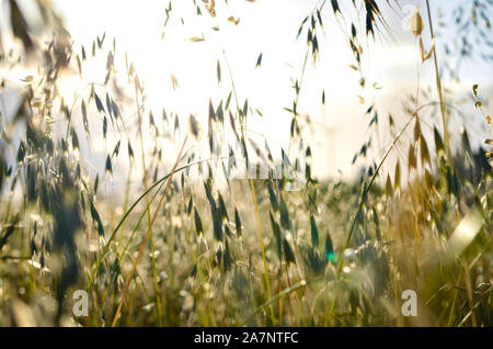Spring wild oat  field  during  summer . - Stock Photo
