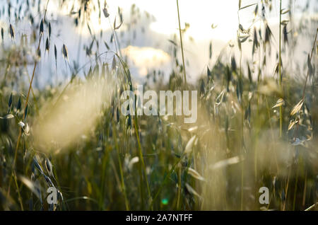 Close-up   view of blurred spring wild oat  field  over bright sky  during  summer  . - Stock Photo