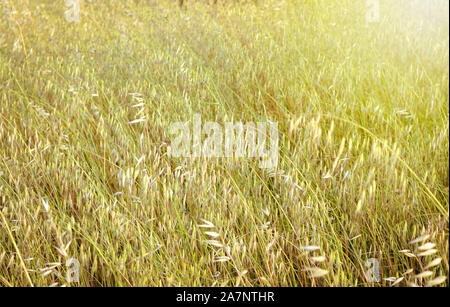 Blurred spring wild oat  field   during spring  . Bright warm filter . - Stock Photo