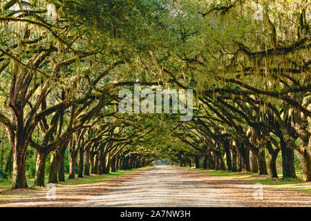 A stunning, long path lined with ancient live oak trees draped in spanish moss near Savannah, Georgia. - Stock Photo