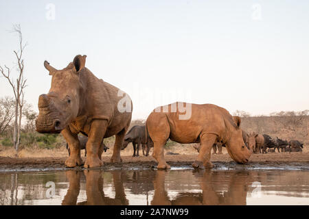 A mother and baby rhinoceros drinking from a pool with other rhinos and buffalos in the background - Stock Photo