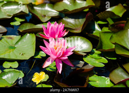Nymphaea pubescens or pink water lily blooming   on the surface of a lake . - Stock Photo
