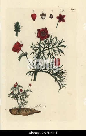 Pheasant's eye, Adonis annua. Handcoloured botanical drawn and engraved by Pierre Bulliard from his own 'Flora Parisiensis,' 1776, Paris, P. F. Didot. Pierre Bulliard (1752-1793) was a famous French botanist who pioneered the three-colour-plate printing technique. His introduction to the flowers of Paris included 640 plants. - Stock Photo