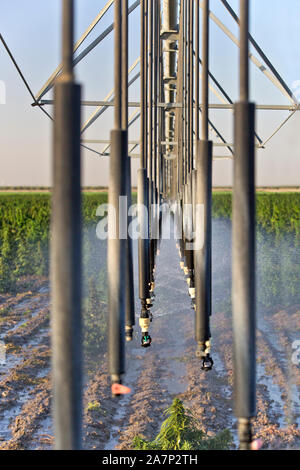 Sprinklers, Linear Irrigation System, operating in Hemp  field 'Frosted Lime' strain, Cannabis sativa. - Stock Photo