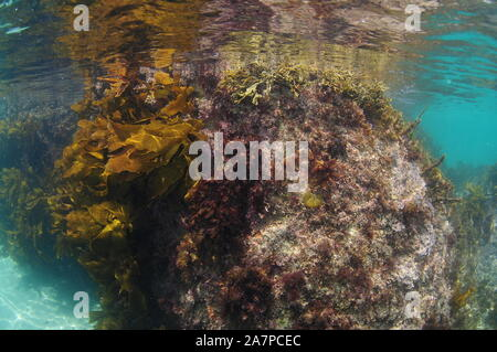 Underwater rock covered with various short seaweeds and brown stalked kelp breaking calm ocean surface. - Stock Photo