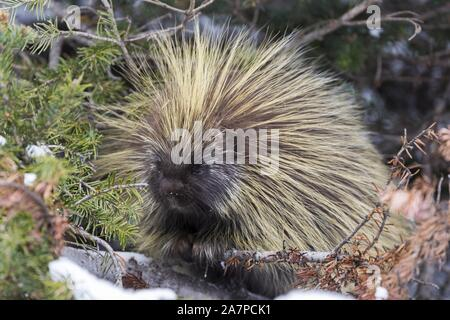 North American Porcupine (Erethizon Dorsatum), also known as the Canadian Porcupine or common porcupine, with yellow green coat of quills - Stock Photo
