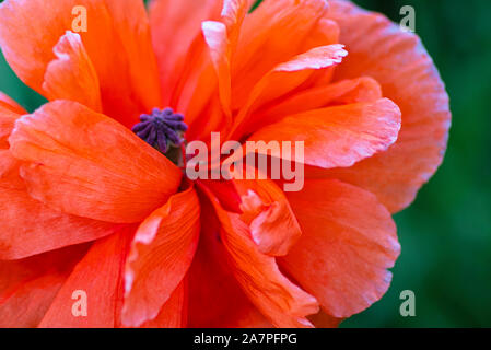 In poppies field. Red poppies on a field on a summer sunny day. Summer and spring, landscape, poppy seed. Opium poppy, botanical plant, ecology. Drug - Stock Photo