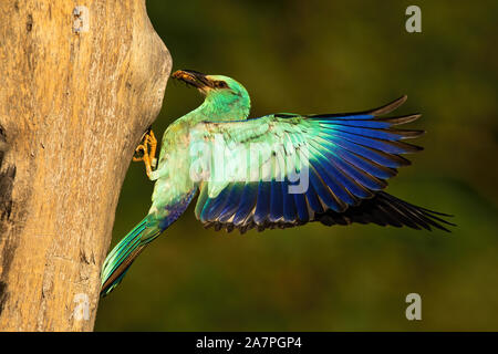 European roller with caught beetle feeding on nest in tree. - Stock Photo