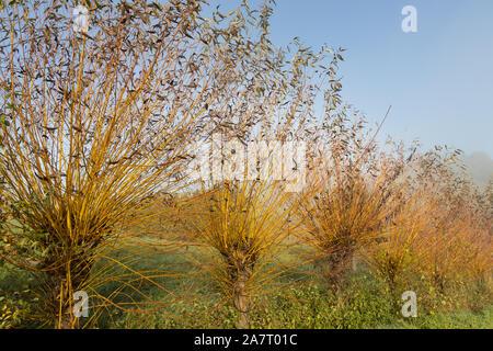 common osier or basket willow trees (salix  salix viminalis) near the wine road in spielfeld - Stock Photo