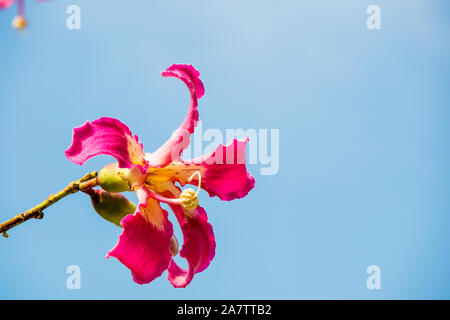 Pink flowers of the silk floss tree Ceiba speciosa, formerly Chorisia speciosa. - Stock Photo