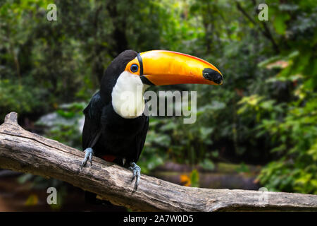 Toco toucan / common toucan / giant toucan (Ramphastos toco) perched in tree, native to South America
