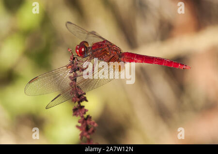 Crocothemis erythraea common scarlet-darter dragonfly of intense red color perched in a reed by a stream natural light - Stock Photo