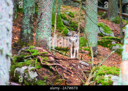 The wolf (Canis lupus), also known as the gray or grey wolf in natural habitat - Stock Photo