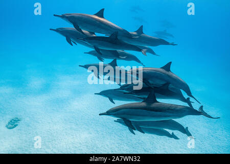 pod of Spinner dolphins (Stenella longirorstris) swimming over sand in Sataya reef, Egypt, Red Sea - Stock Photo