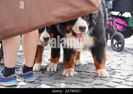 Two Bernese Mountain Dogs standing on cobblestone sidewalk, heads hidden behind piece of cloth, owner legs near - Stock Photo