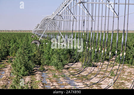 Industrial Hemp  'Frosted Lime' strain,  Cannabis sativa,  maturing crop,  Linear Self Propelled Irrigation System. - Stock Photo