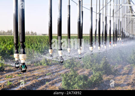 Industrial Hemp  maturing, 'Frosted Lime'  strain, Cannabis sativa,  CBD rich strain, Linear Self Propelled Irrigation System operating. - Stock Photo