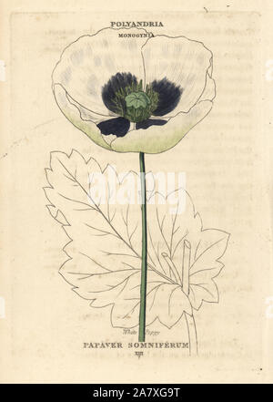White opium poppy, Papaver somniferum. Handcoloured copperplate engraving after an illustration by Richard Duppa from his The Classes and Orders of the Linnaean System of Botany, Longman, Hurst, London, 1816. - Stock Photo