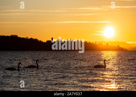 A group of swans on Trasimeno lake (Umbria, Italy) at sunset, with sun reflecting on water - Stock Photo
