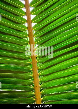 Under coconut leaves and stalk at tropical beach. Closeup palm tree. Coconut leaves pattern. Summer vacation background. Texture green leaf of palm. - Stock Photo