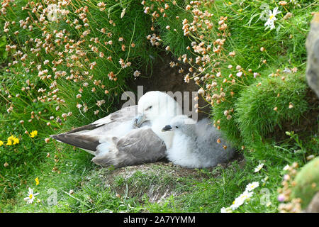 Northern Fulmar (Fulmarus glacialis) adult and chick at nest, Shetland Islands, UK, July - Stock Photo