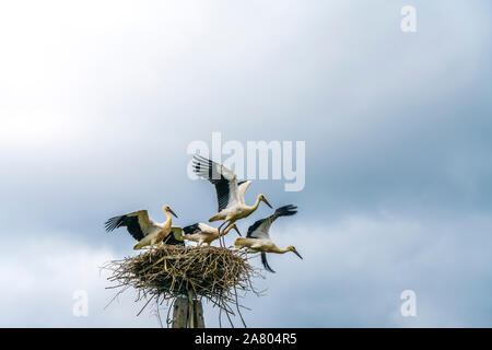Störche im Nest, Wigry-Nationalpark, Polen, Europa  | storks in their nest,  Wigry National Park, Poland, Europe