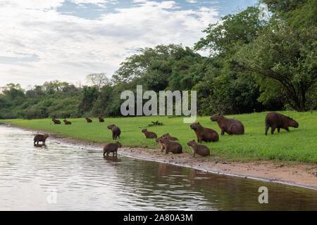 A family group of Capybaras in South Pantanal - Stock Photo
