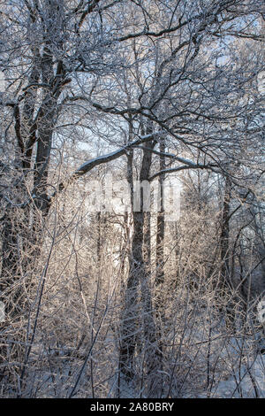 Sun shining through tree branches with hoar frost. - Stock Photo