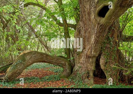 A verry old large-leaved lime tree ( Tilia platyphyllos) - Stock Photo