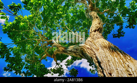 Sweet chestnut tree canopy against a clear blue sky - Stock Photo