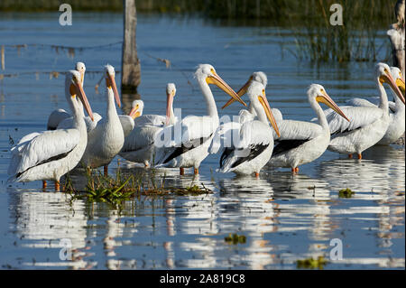 Group of American white pelicans (Pelecanus erythrorhynchos) on Lake Chapala, Jalisco, Mexico - Stock Photo