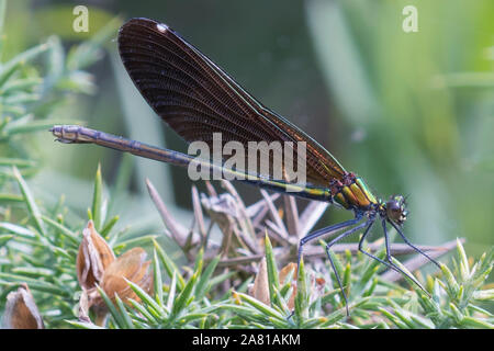A female Beautiful Demoiselle (Calopteryx virgo), Crockford Stream, New Forest, Hampshire, UK. - Stock Photo