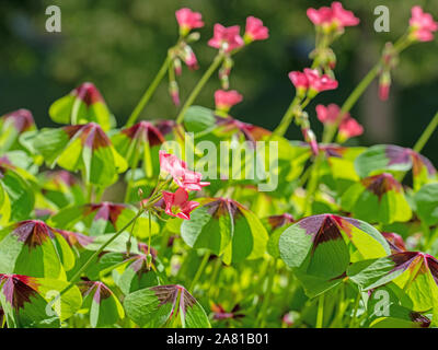 Flowering lucky clover, oxalis tetraphylla - Stock Photo