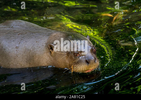 Giant otter / giant river otter (Pteronura brasiliensis) swimming in river, native to South America - Stock Photo