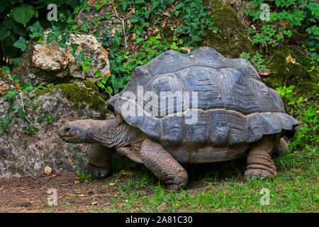 Aldabra giant tortoise (Aldabrachelys gigantea / Testudo gigantea) native to the islands of the Aldabra Atoll in the Seychelles Stock Photo