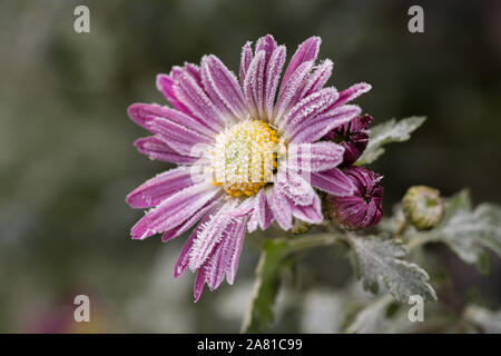 First frost, ice on flowers in late autumn. Hoarfrost on pink chrysanthemum. - Stock Photo