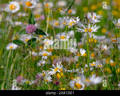 Ox-eye Daises Leucanthemum vulgare and Trifolium pratense,Red clover, in alpine meadow Dolomites Italy - Stock Photo