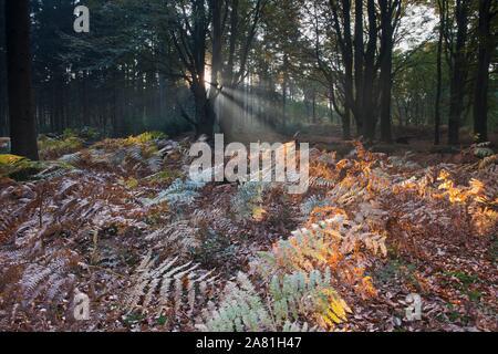 Bracken (Pteridium aquilinum) in beech forest (Fagus sylvatica), Emsland, Lower Saxony, Germany - Stock Photo